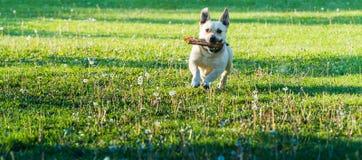 Netter kleiner Hund, der im Hinterhof spielt Lizenzfreie Stockfotos