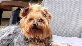 Netter kleiner Hunde-Yorkshire-Terrier stock video