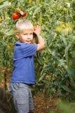 Netter kleiner Junge, der Tomate im Garten hält stockfotografie