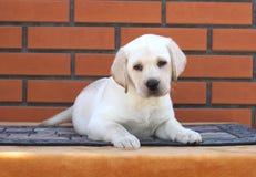 Netter kleiner Labrador-Welpe auf einem braunen Hintergrund lizenzfreies stockfoto