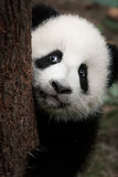 Netter kleiner Panda Stockbilder