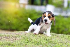 Netter kleiner Spürhund lizenzfreies stockbild