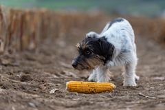 Netter kleiner Steckfassungsrussell-Jagdhund auf einem Feld mit Mais stockbild