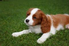 Netter kleiner unbekümmerter König Charles Spaniel, der auf dem Gras liegt Lizenzfreie Stockfotografie