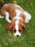 Netter kleiner unbekümmerter König Charles Spaniel, der auf dem Gras liegt und Fotografen untersucht Stockbilder