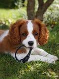 Netter kleiner unbekümmerter König Charles Spaniel, der auf dem Gras mit Kragen in seinem Mund liegt Lizenzfreies Stockfoto