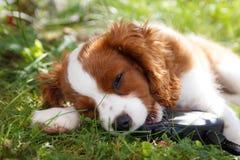 Netter kleiner unbekümmerter König Charles Spaniel, der auf dem Gras mit Kragen in seinem Mund liegt Stockfotografie