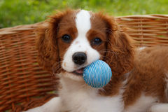 Netter kleiner unbekümmerter König Charles Spaniel mit kleinem blauem Ball in seinem Mund Stockbilder