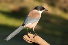 Netter kleiner Vogel auf einer Niederlassung Stockbilder
