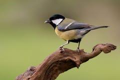Netter kleiner Vogel auf einer Niederlassung Lizenzfreie Stockfotografie