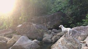 Netter kleiner weißer Hund auf Fluss-Steinen im tropischen Dschungel, Nord-Thailand stock video