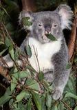 Netter Koala Stockfotos