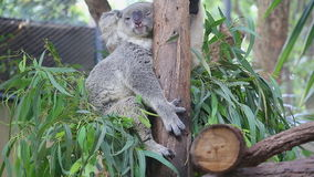 Netter Koala-Bär, der auf Baum schläft Stockfoto