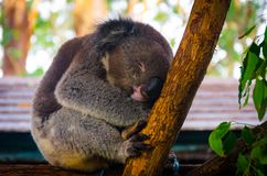 Netter Koala, der einen Tagtraum auf einem Baum hat lizenzfreie stockfotografie
