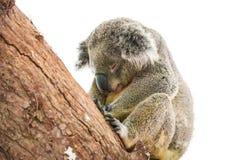Netter Koala lokalisiert auf wei?em Hintergrund stockbilder