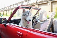 Netter lächelnder heiserer Hund, der im Auto sitzt lizenzfreie stockfotografie
