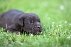 Netter Labrador-Welpe Stockfoto