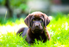 Netter Labrador-Welpe, der in der Sonne und im Gras liegt lizenzfreies stockfoto