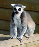 Netter Lemur Lizenzfreies Stockfoto