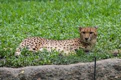 Netter Leopard starrt entlang der Kamera an, die auf dem Gras im Singapur-Zoo liegt Lizenzfreie Stockfotos