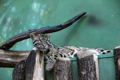 Netter Leopardschlaf Stockbild