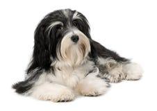 Netter liegenBichon Havanese Welpenhund Lizenzfreie Stockbilder