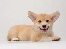 Netter liegender und lächelnder Corgiwelpe Stockfoto