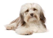 Netter liegenschokolade Havanese Hund Stockbild