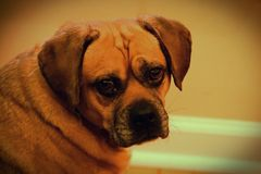 Netter lustiger dummer entzückender Puggle-Hund Lizenzfreies Stockfoto