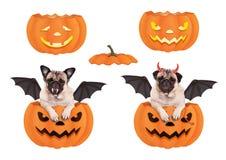 Netter lustiger Pughund im Kürbis, oben zurechtgemacht für Halloween als Schläger und Teufel Lizenzfreie Stockfotografie