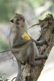 Netter Macaque, der auf Baum sitzt Lizenzfreie Stockfotos