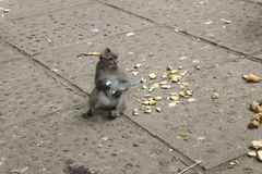 Netter Makakenaffe, der Banane sitzt und isst Stockfotos
