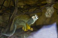 Netter Makakenaffe, der oben schaut und prepering, um zu springen Schließen Sie herauf Portrait Stockfotos