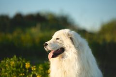Netter maremma Schäferhund Großes weißes flaumiges Hunderasse maremmano abruzzese Schäfer, der auf dem Gebiet bei Sonnenuntergang stockbilder