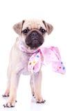 Netter Moppwelpenhund, der ein rosafarbenes Farbband trägt stockfotos