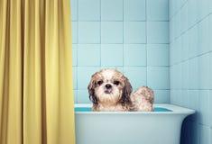 Netter nasser shitzu Hund im Bad stockfotos