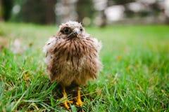 Netter Nestling verloren in der Natur - verlassen - aus dem schwierigen Nest heraus - leben Sie lizenzfreies stockbild