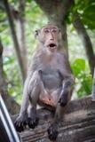 Netter netter Affe der Affen A lebt in einem Naturwald von Thailand Lizenzfreies Stockfoto