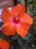Netter orange großer heller Blumenblatthibiscus lizenzfreie stockfotos