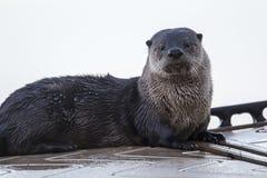 Netter Otter betrachtet Kamera Stockfotos