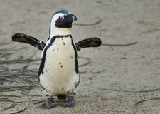 Netter Pinguin stockfoto