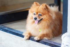 Netter Pomeranian Hund Stockbild