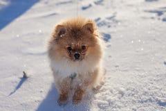 Netter Pomeranian-Welpe auf einem Weg im Schnee an einem Wintertag Stockbilder
