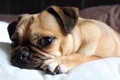 Netter Pug, der auf einem Kissen stillsteht Stockbilder