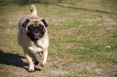 Netter Pug, der am Hundepark läuft Lizenzfreie Stockfotografie