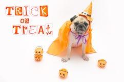 Netter Pug-Hund mit Halloween-Kürbis schaut und die Zunge überrascht, die heraus haftet Stockbilder