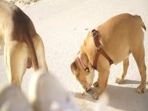 Netter Pughund, der nahe bei seinem Meister am Strand in Tel Aviv, Israel stillsteht stock footage