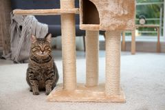 Netter Pussycat nahe Katzenbaum stockfoto