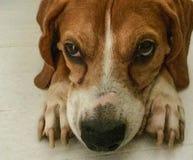 Netter rötlich brauner Spürhund, der durchdacht auf den Boden legt lizenzfreies stockfoto