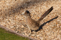 Netter Roadrunner Stockbild